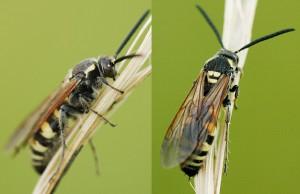 Scolia histrionica japonica