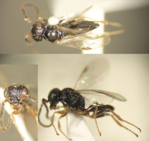 Dryinidae gen. sp.