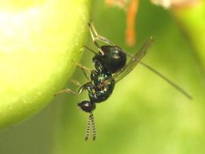 Torymidae gen. sp.
