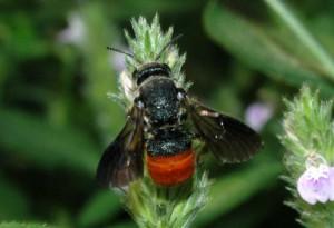 Euaspis basalis