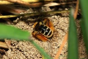 Dasypoda japonica