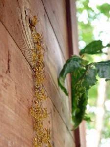 Parapolybia indica indica
