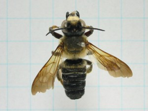 Megachile pseudomonticola