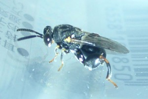 Chalcididae gen. sp.