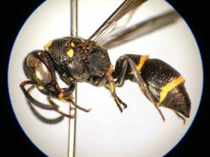 Stenodynerus clypeopictus