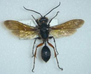 Isodontia harmandi
