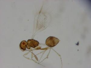 Mymarommatidae gen. sp.