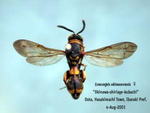 Leucospis sinensis
