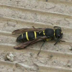 Symmorphus sp.