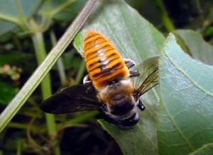 Megachile xanthothrix
