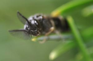 Diprionidae gen. sp.