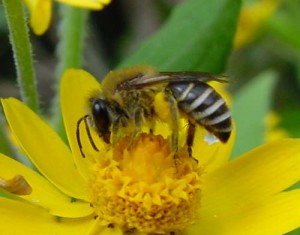 Colletes patellatus