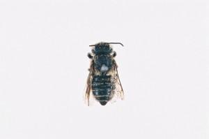 Megachile yasumatsui