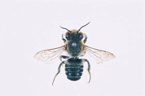 Megachile humilis