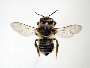 Megachile nipponica nipponica