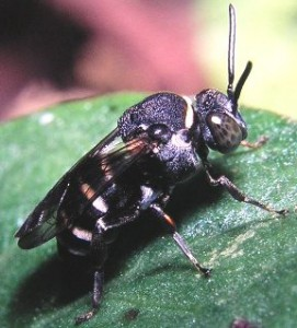 Epeolus japonicus