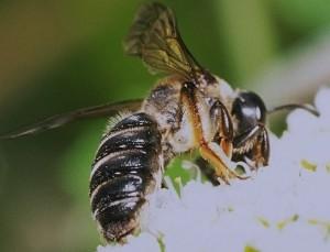 Andrena japonica