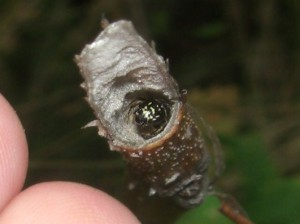 Ceratina japonica