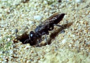 Tachysphex nigricolor nigricolor