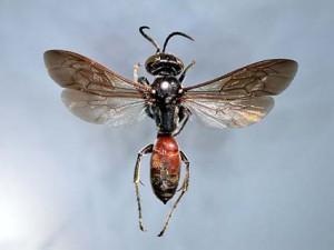 Larra amplipennis