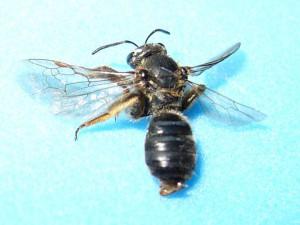 Lasioglossum nipponicola