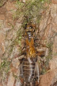 Liris deplanatus binghami