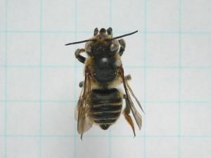 Megachile remota sakagamii