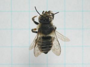 Megachile tsurugensis
