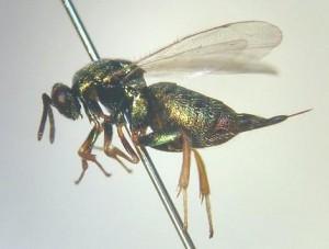 Ormyridae gen. sp.