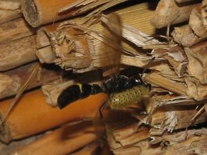 Symmorphus decens