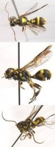 Trigonalidae gen. sp.