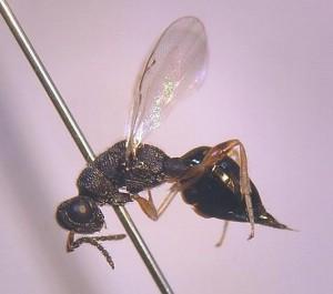 Eurytomidae gen. sp.