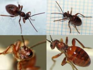 Cynipidae gen. sp.