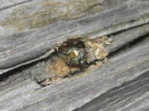 Megachile sp.