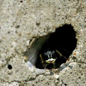 Crabronidae gen. sp.