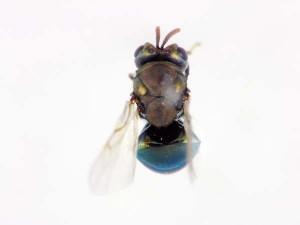 Perilampidae gen. sp.
